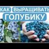 Голубика 3. Очень полезная беседа. Как выращивать и приобрести качественные саженцы.