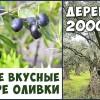 ОЛИВКИ №1 в Мире! Уникальные оливковые деревья. Оливки с острова Тасос! Фролов Ю.А.