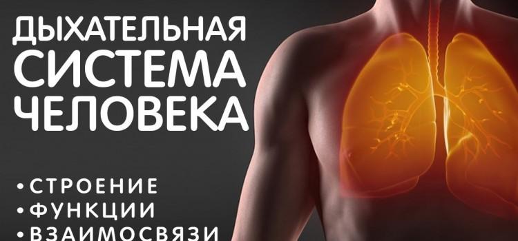 Дыхательная система — строение, газообмен, воздух — как всё устроено. Жизненно важно знать всем! ЗОЖ
