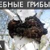 ГРИБ ЧАГА. Как Солженицын вылечил свой РАК ! Уникальные лечебные свойства высших грибов. Фролов Ю.А.
