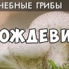 ГРИБ Дождевик. Уникальные лечебные свойства грибов. Фролов Ю.А.