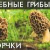 ГРИБ СМОРЧОК. Сморчки. Уникальные лечебные свойства высших грибов. Фролов Ю.А.