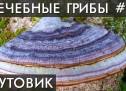 ГРИБ Трутовик Лиственничный. Для Печени, Лёгких..Уникальные лечебные свойства высших грибов.